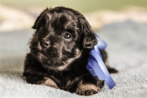 havanese puppies available havanese puppies ready september 2017 akc havanese puppies