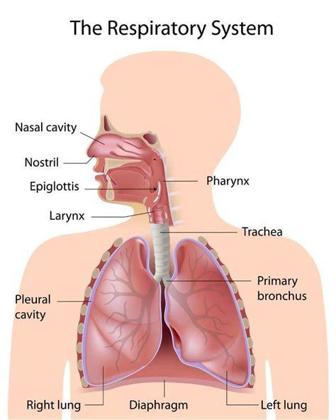 Imagenes Del Sistema Respiratorio Ingles   aparato respiratorio en ingl 233 s imagui