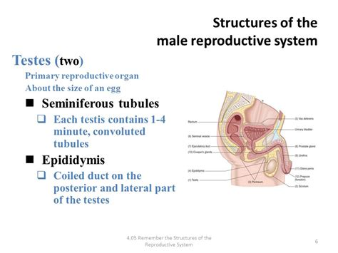 which body section contains the reproductive structures on a beetle health science i mrs atchison i ppt video online download