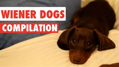 wiener breed wiener dogs compilation 2017 1funny