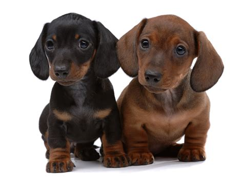 weiner puppy how much does a dachshund puppy cost many