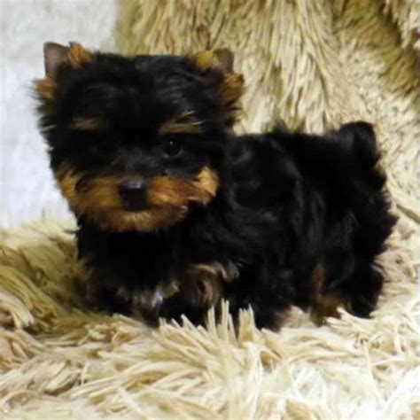 teacup yorkie information 10 best images about teacup yorkies on micro teacup puppies miniature and