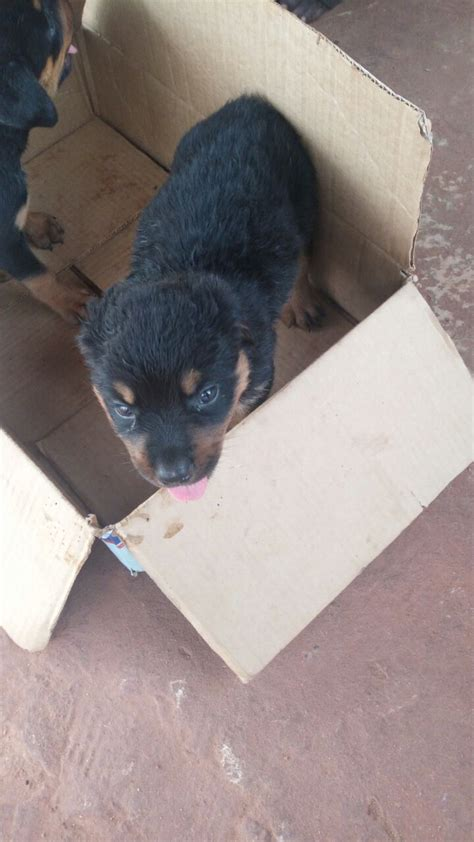 purebred rottweiler puppies price purebred rottweiler puppies for sale pets nigeria