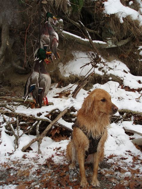 golden retrievers to hunt spots on golden retrievers breeds picture