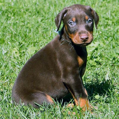 puppy pin doberman pinscher all big breeds