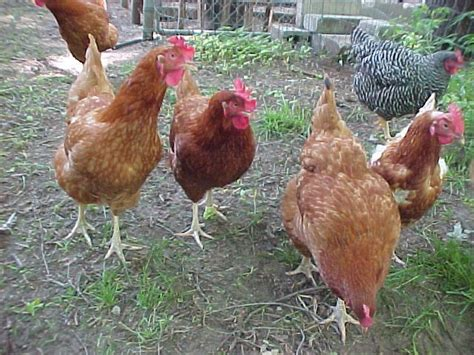 Backyard Chickens New Hshire New Hshire Backyard Chickens
