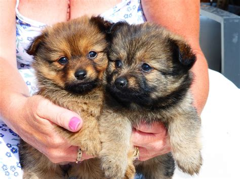 yorkie pomeranian puppies yorkie pom puppies for sale ashford kent pets4homes