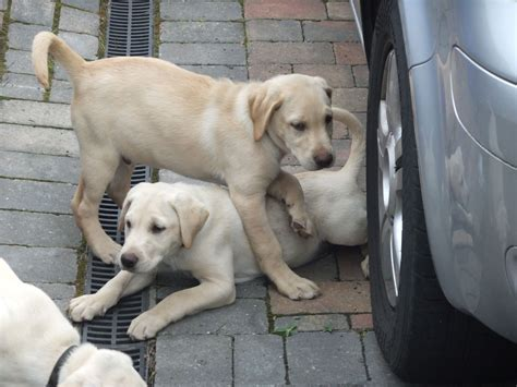 yellow labrador puppies for sale yellow lab puppies quotes
