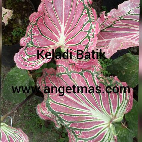 Tanaman Hias Daun Keladi Batik tanaman bunga keladi batik keladi hias batik anget