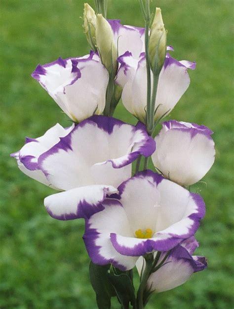 lisianthus bella calla