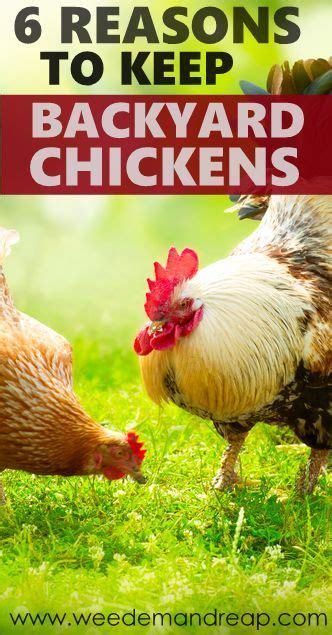 how to keep chickens in your backyard 6 reasons to keep backyard chickens backyard chickens backyards and