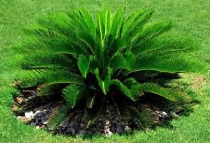 Indoor Garden Blog - cycad sago palm hello hello plants amp garden supplies