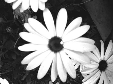 imagenes blanco y negro facebook im 225 genes de flores en blanco y negro fondos de pantalla