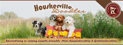 mini doodle saskatchewan welcome specializing in raising family friendly mini