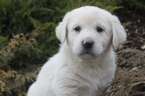 pyrenees puppies great pyrenees puppy in the bush wallpapers and images wallpapers pictures photos