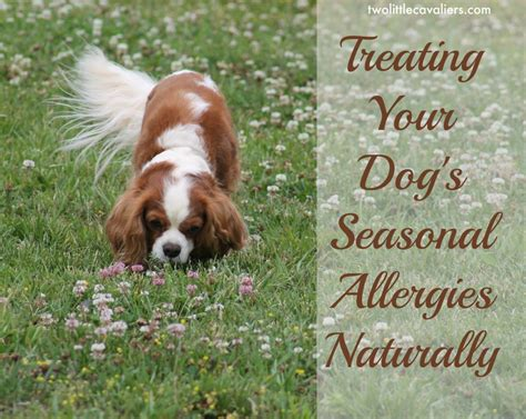treating allergies in dogs treating your dogs seasonal allergies naturally