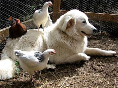 maremma sheepdog golden retriever mix the 25 best maremma sheepdog ideas on white golden retriever puppy puppy