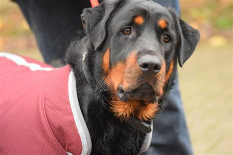 rottweiler rescue shelter rottweiler boy for adoption rotherham south pets4homes