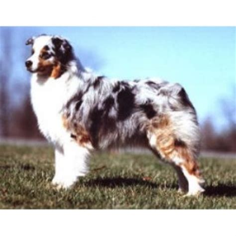 free puppies in indiana australian shepherd aussie breeders in indiana freedoglistings