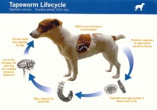 is it normal for puppies to worms wormer for dogs vet worming tips