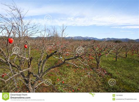 fields for growing fruit trees persimmon fruits on trees on autumn field stock photo