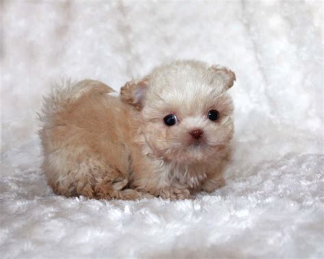 teacup maltipoo puppies micro teacup maltipoo puppy for sale iheartteacups