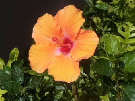 which state has a hibiscus hibiscus hawaii state flower state flowers pinterest