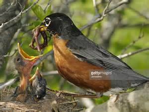 spring mother robin feeds worm to nest of hungry babies