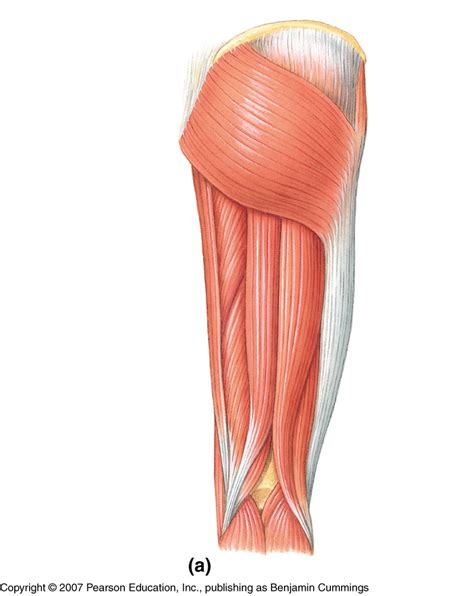 lowered muscle pics for gt muscles of the lower leg unlabeled