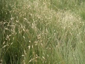 buffalo grass buchloe dactyloides zone 4 20cm hardy
