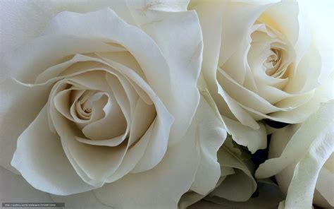 imagenes de rosas blancas gratis descargar gratis rosa rosas blancas naturaleza flores