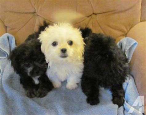 pekingese puppies for sale in florida pek a poo pekingese x poodle puppies for sale in jacksonville florida classified
