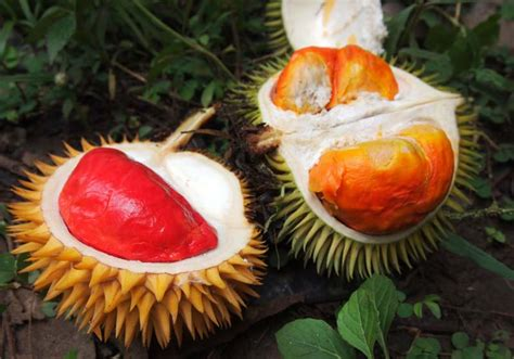 day life red durian