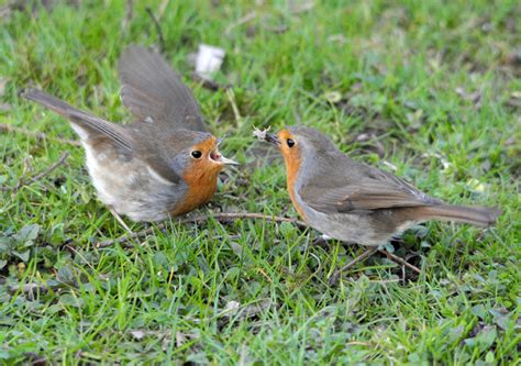 do robins courtship feed each other wildlife