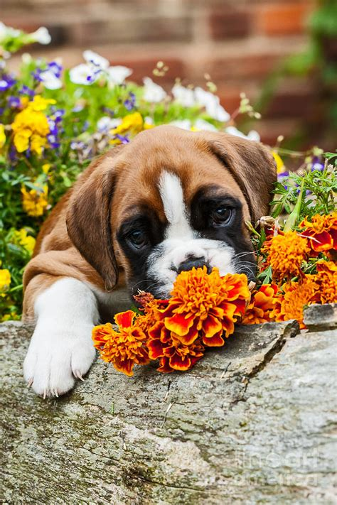 puppies and flowers the gallery for gt boxer puppies and flowers