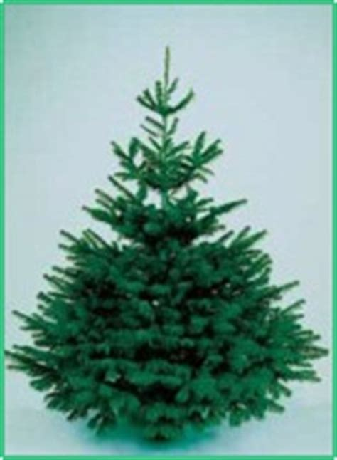 northern christmas trees premium nordmann fir real