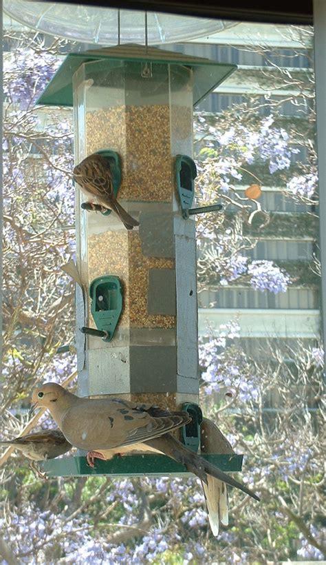 birds of westwood mourning dove