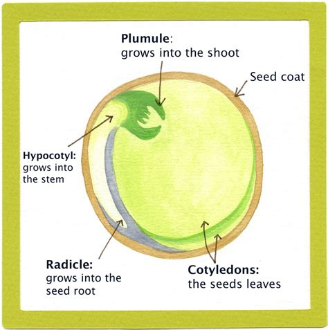 seed diagram bean seed germination diagram bean get free image about