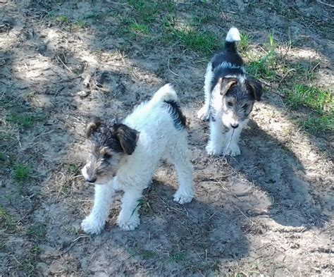 wire fox terrier puppies for sale wire fox terrier puppies for sale newport newport pets4homes