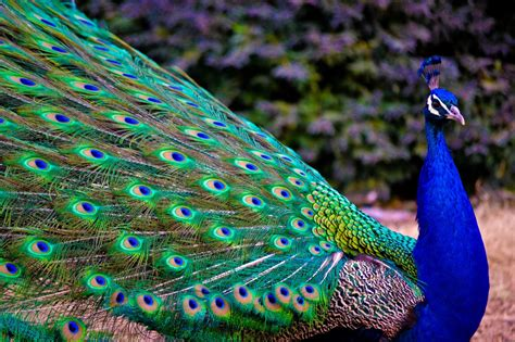 colorful peacock colorful peacocks hd wallpapers free