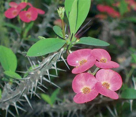 foto piante grasse fiorite piante grasse con fiori coltivazione rinvaso e talea