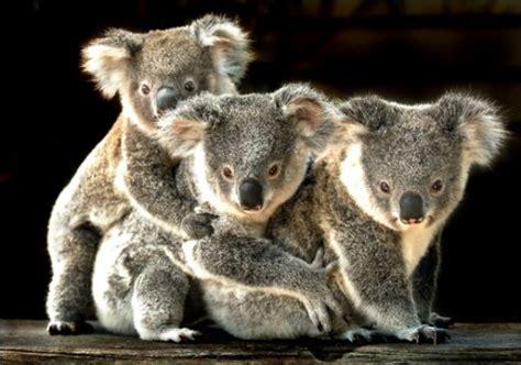imagenes bellas de koalas im 225 genes tiernas de koalas