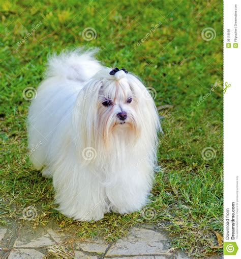 Longch Small maltese stock photo image of bichon grass beautiful