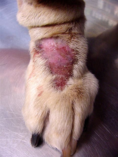 home remedies for ringworm in dogs ringworm treatment for cats pets at home cats
