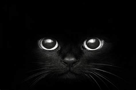 wallpaper cat black and white cat hd black and white wallpaper