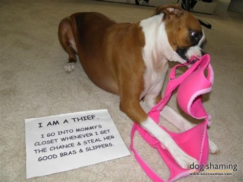 dog hair in wifes panties stories 15 hilarious photos that prove dogs are underwear stealing