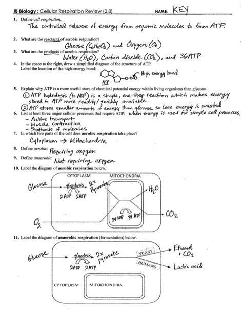 Cellular Respiration Review Worksheet Answer Key