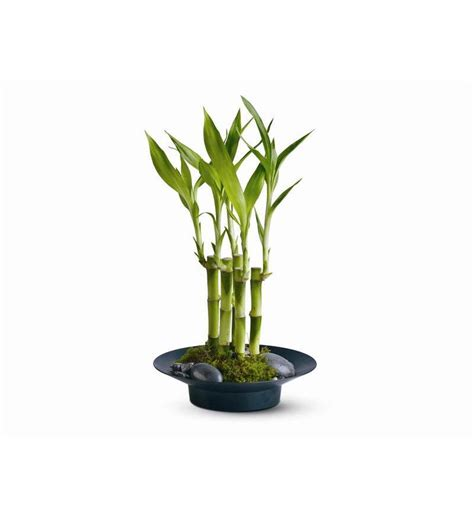 new year bamboo plant lucky bamboo lookup beforebuying