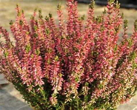 piante da giardino resistenti al gelo piante da balcone resistenti piante da terrazzo