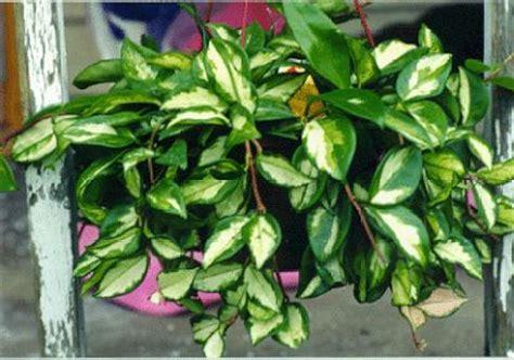 hoy hoya plant love  colour suculentas plantas